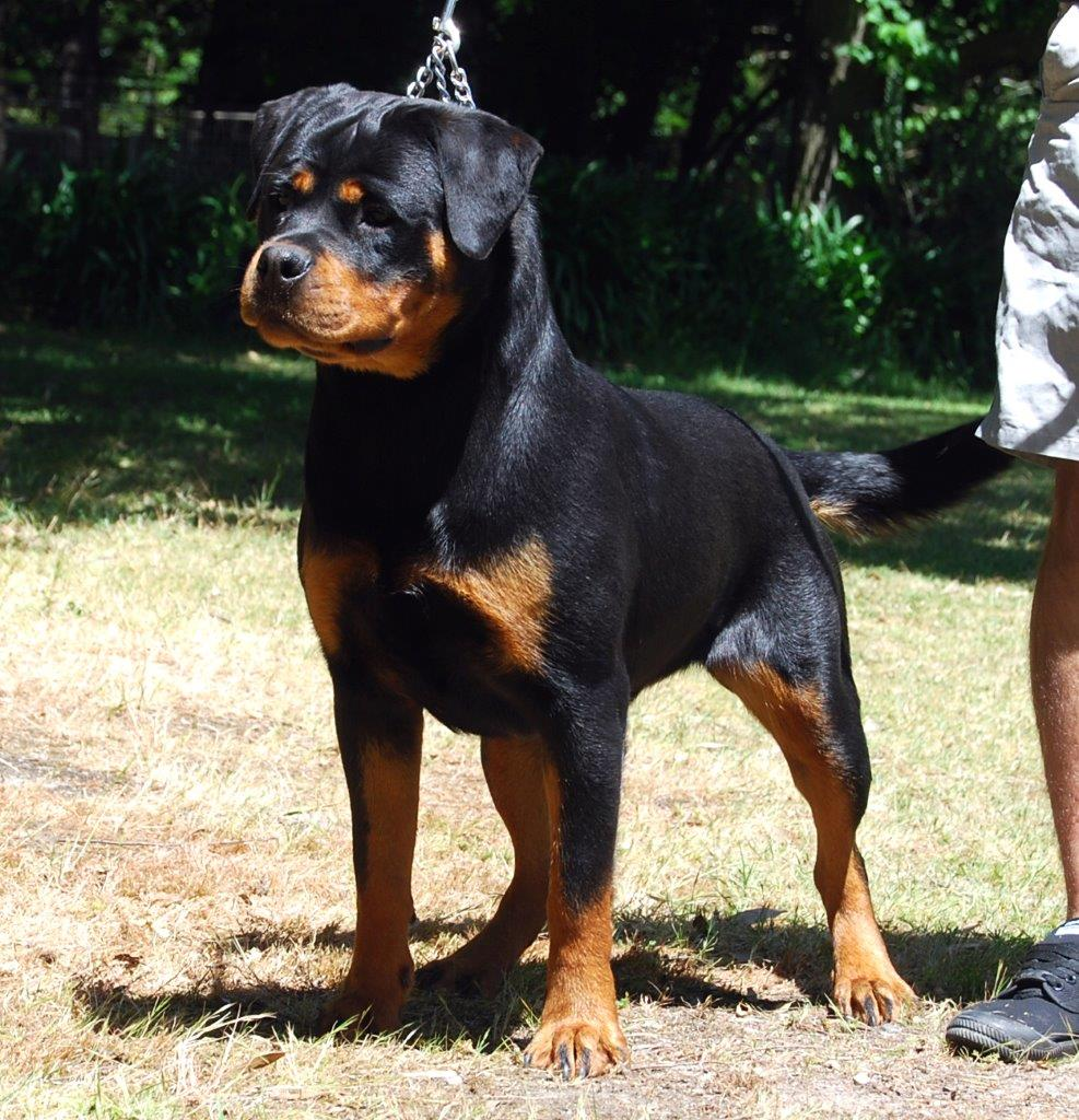 Rottweiler Dogs Rottweiler Puppies And Rottweiler Semen