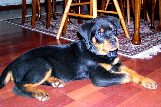 Arkon as a Rottweiler puppy
