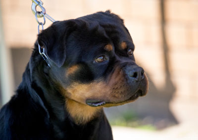 rotties26-8-18-9705aa